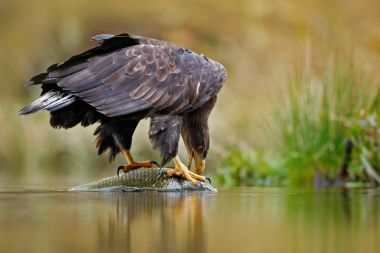 White-tailed Eagle with catch fish