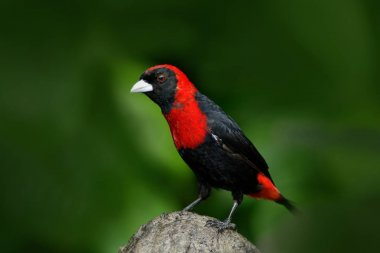 Crimson-collared Tanager in green vegetation