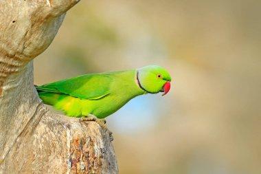 Beautiful parrot bird in nature habitat