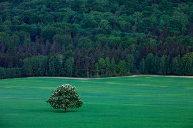 Solitary chestnut tree, with white bloom flower, in the meadow, with dark forest in background