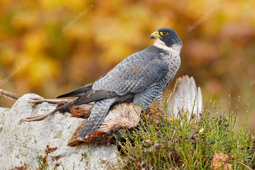 Hunting Peregrine Falcon bird