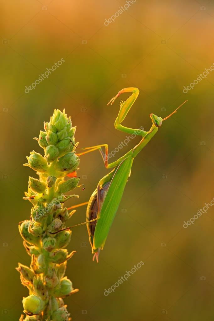 Evening sun with Mantis on flower