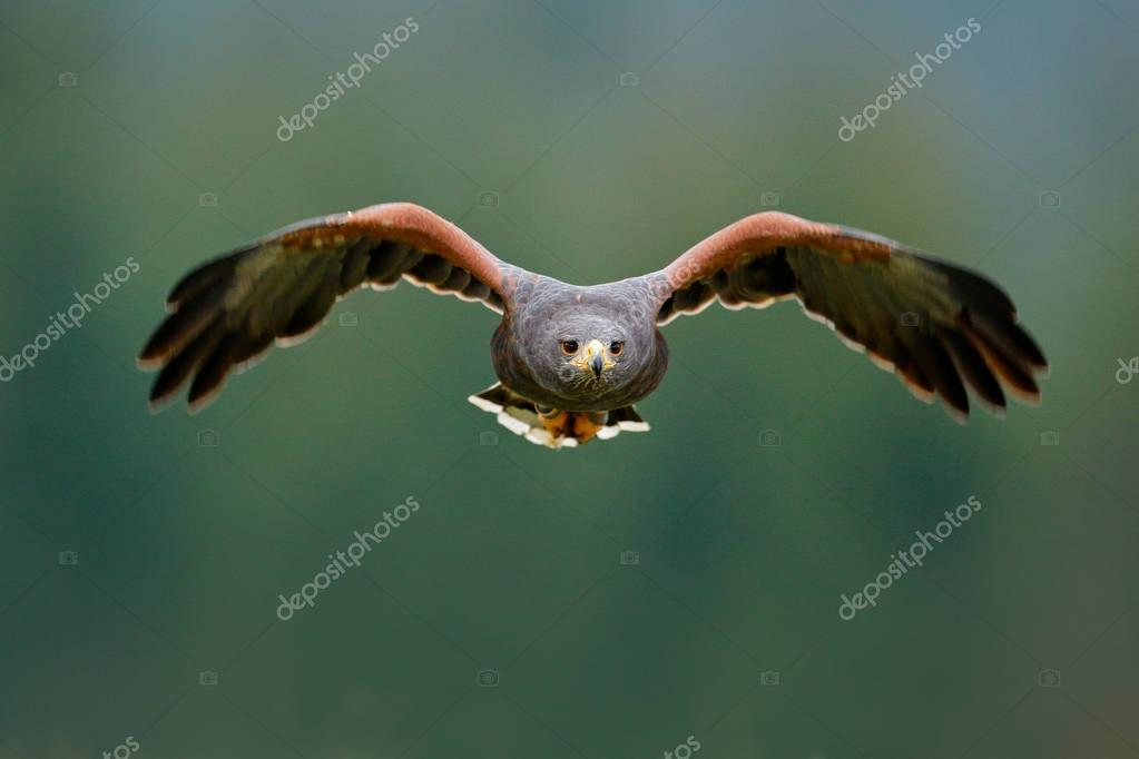 Wildlife animal scene with hawk