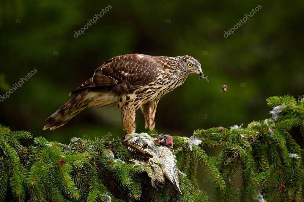 Wildlife animal scene with Goshawk