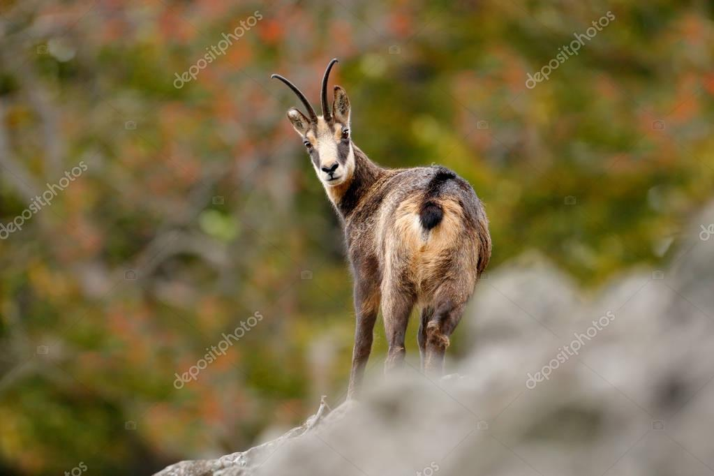 Chamois in the stone hill