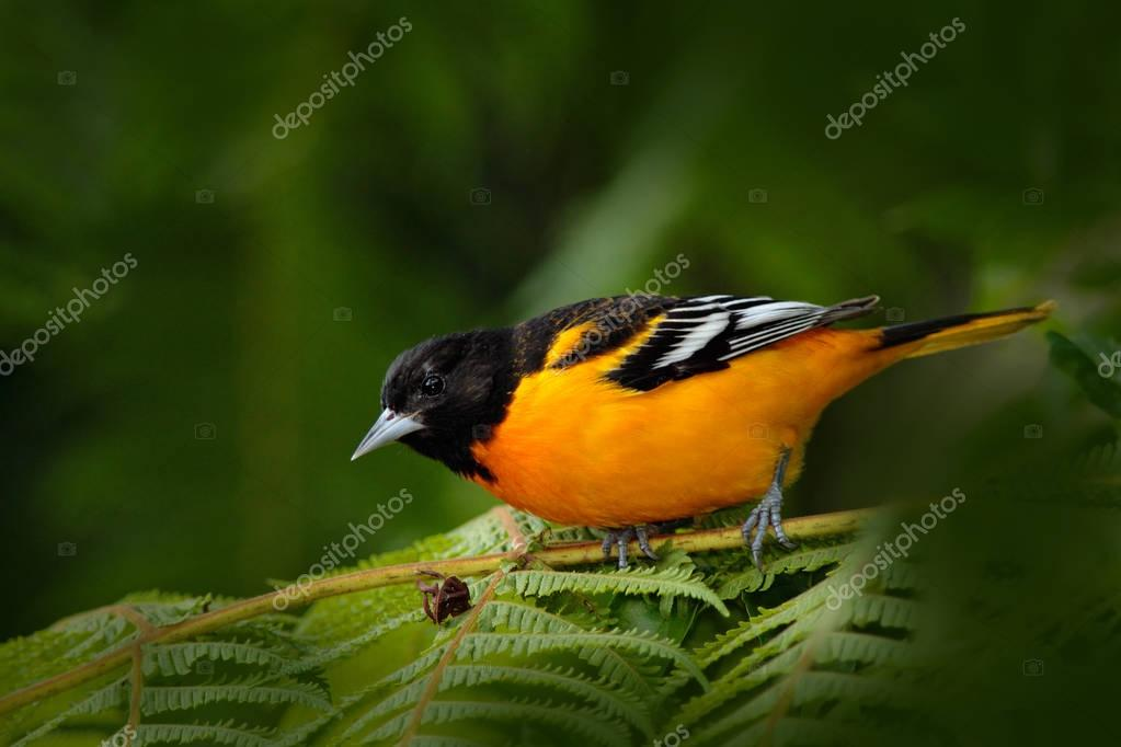Baltimore Oriole sitting on the green branch