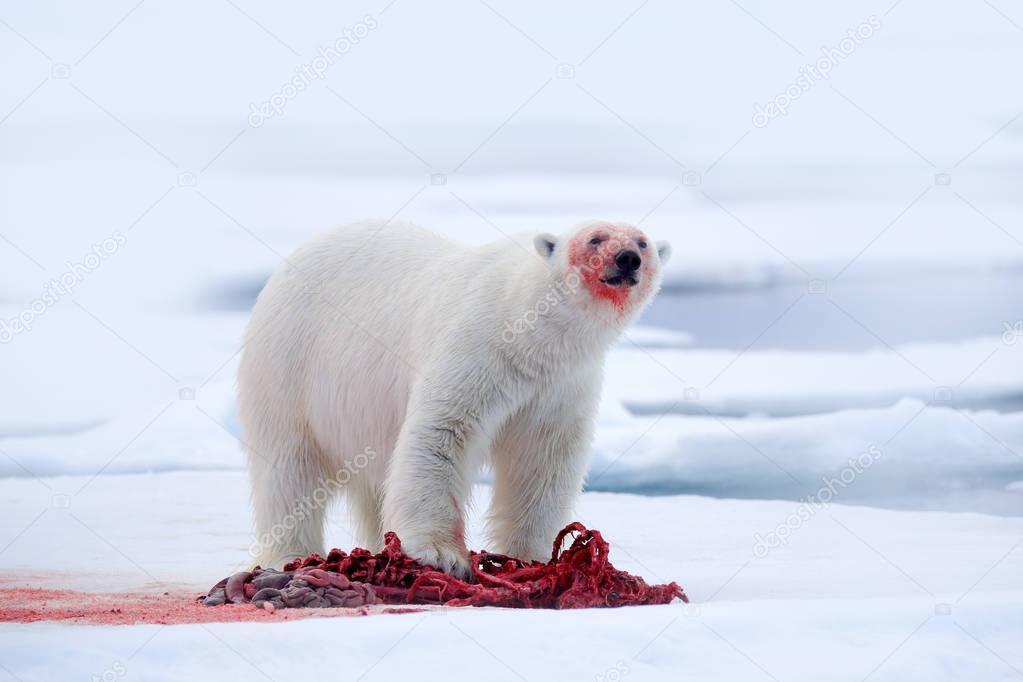 White polar bear on drift ice