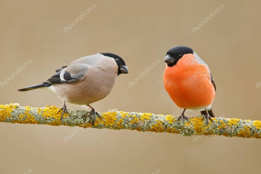 Bullfinches sitting on yellow lichen branch