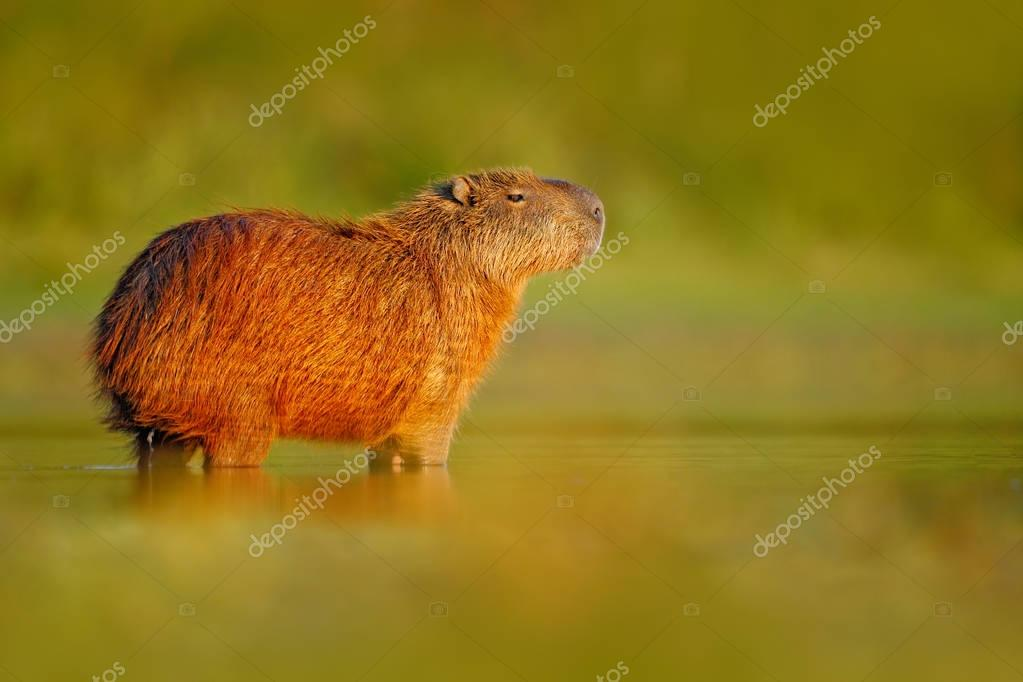 Capybara in the water with evening light