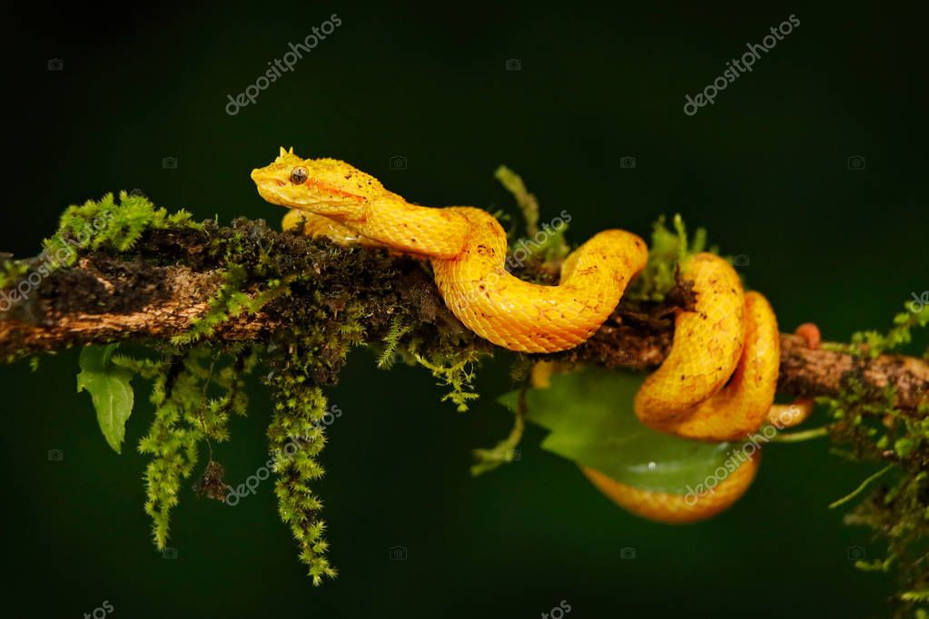 Poison viper snake from Costa Rica
