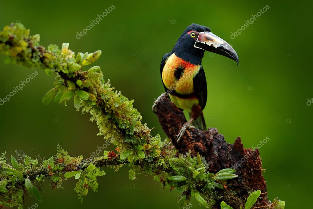 Toucan sitting on the branch in tropical forest