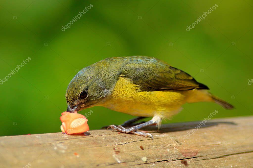 Blue and yellow bird Yellow-throated Euphonia
