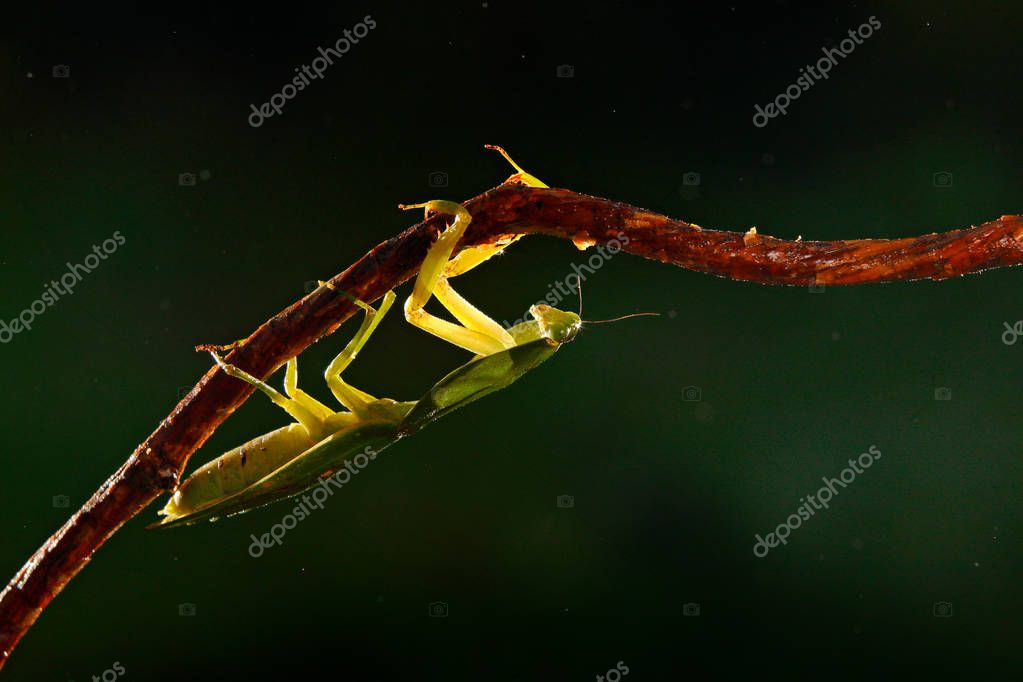 Leaf Mantid insect from Costa Rica