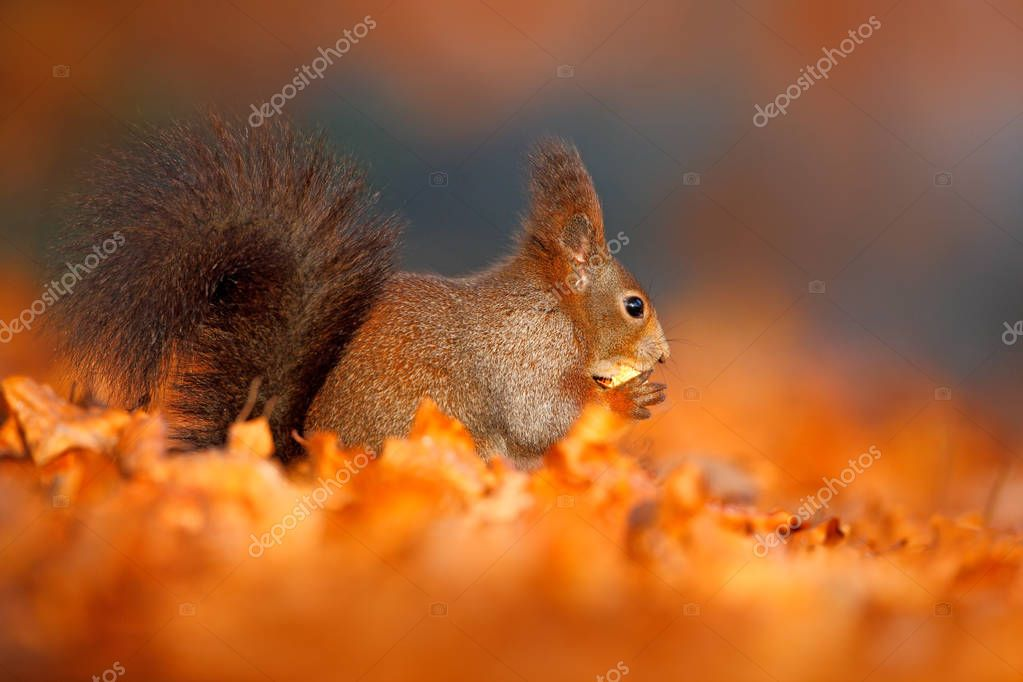 Cute squirrel with long pointed ears