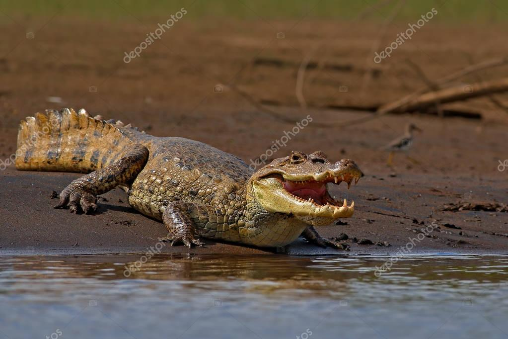 American crocodile in the river water