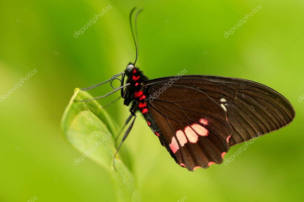 Common Mormon beautiful butterfly