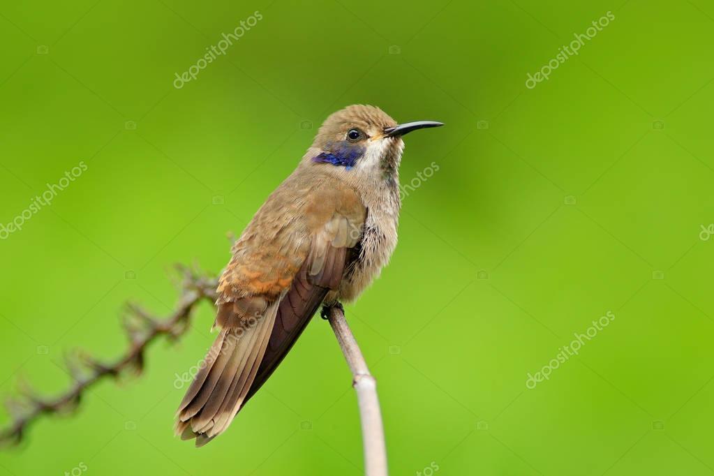 Brown Violet-ear Colibri bird