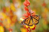 Monarch motýl v přírodní stanoviště