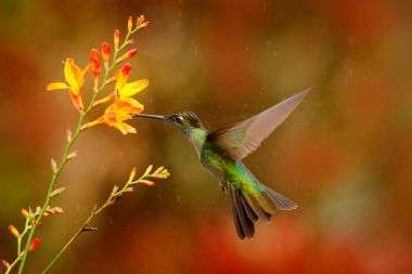 Magnificent Hummingbird flying next to flower