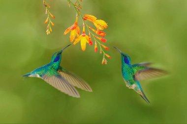 Green hummingbirds Green Violet-ear