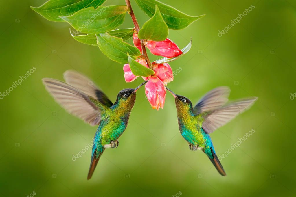 Hummingbird birds with pink flowe