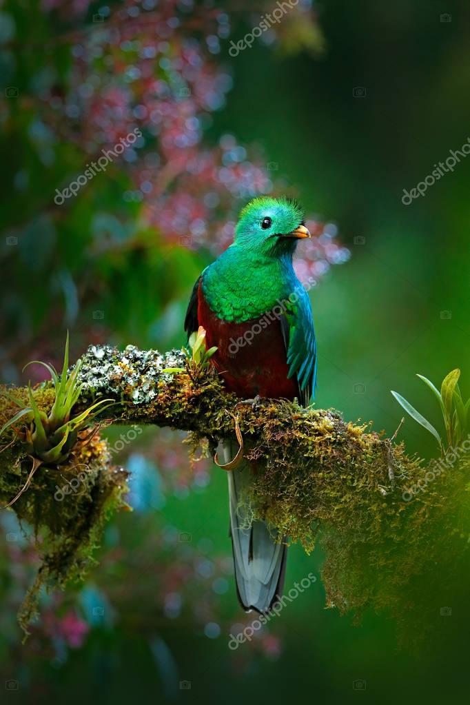 Resplendent Quetzal in jungle