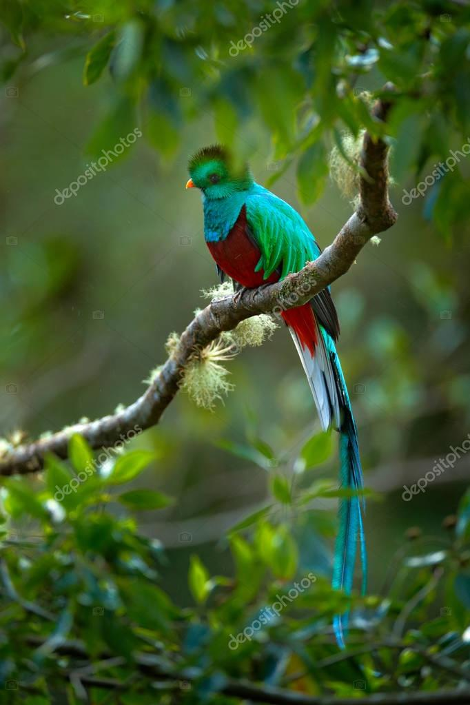 BiResplendent Quetzal magnificent sacred bird