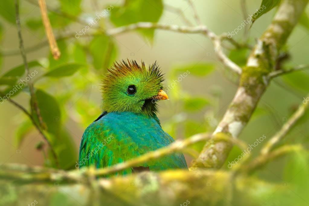 Resplendent Quetzal from Guatemala