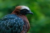 Fotografie Velký černý pták s červeným hřeben