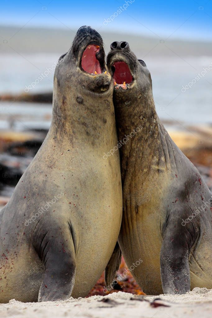 Elephant seals in nature