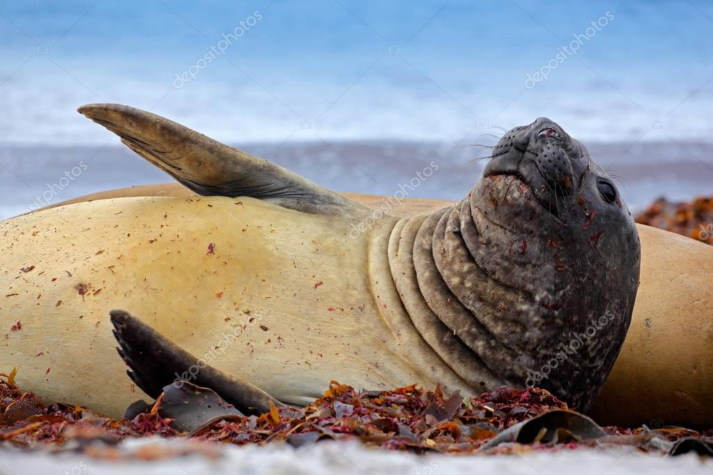 Elephant seal with peel off skin