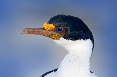 Phalacrocorax atriceps, cormorant in flight