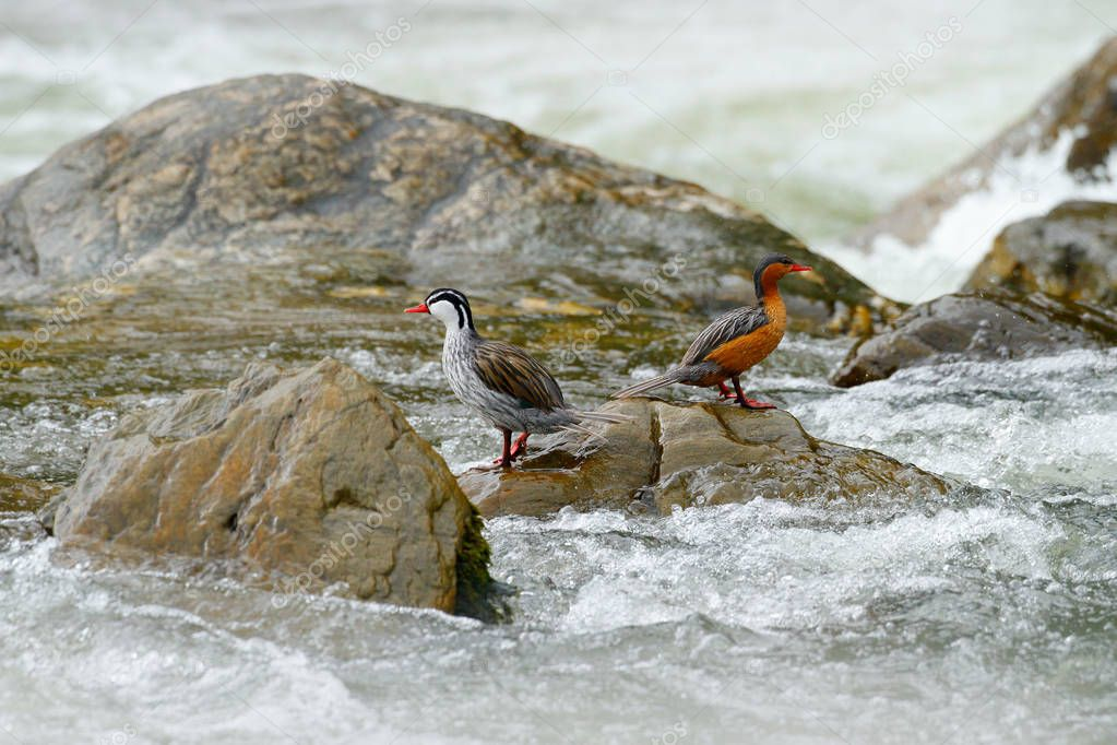 Birds with young in mountain river