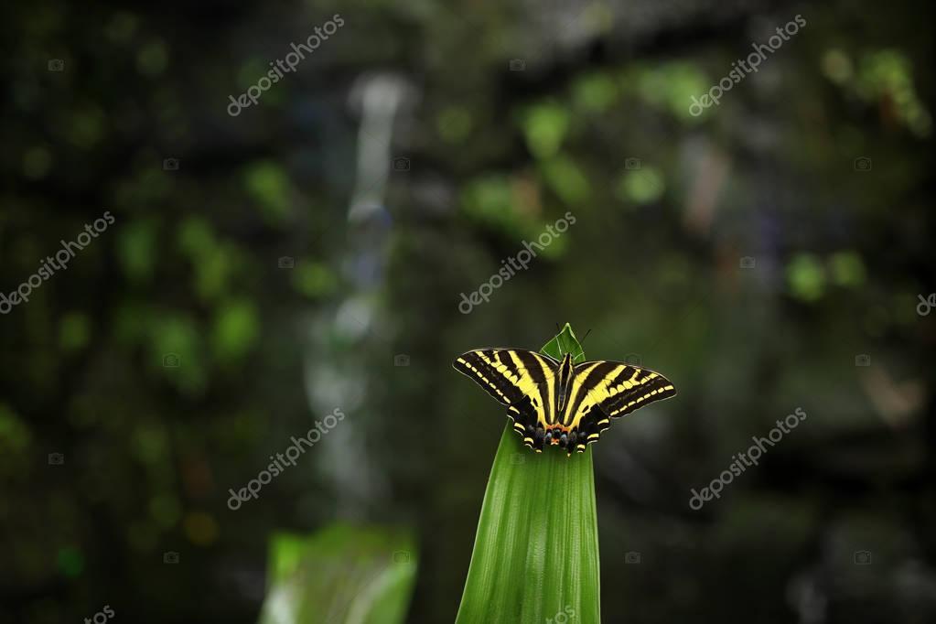 Butterfly Papilio pilumnus