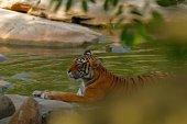 Tygr, položení v lese