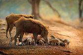 Porcellino maialino selvatico con maiale