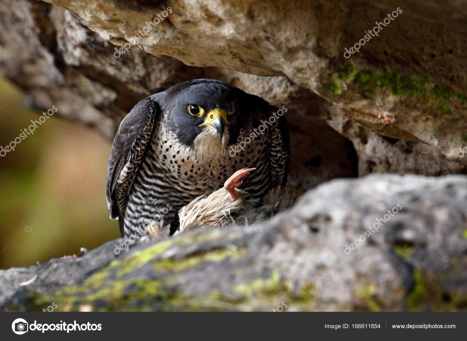 Wanderfalken In Den Felsen Mit Haken Vogel Stockfoto