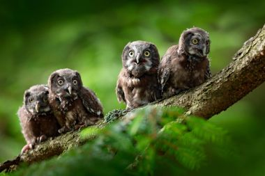 Four young boreal owls sitting