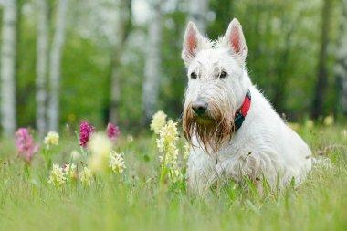 White wheaten Scottish terrier