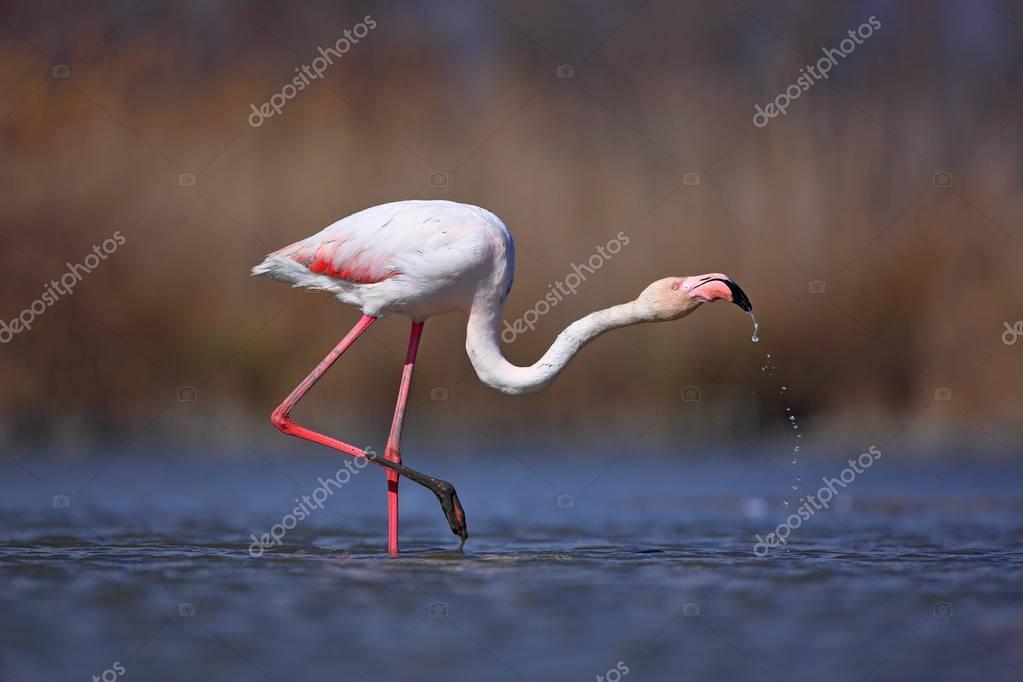 Flamingo drinking water