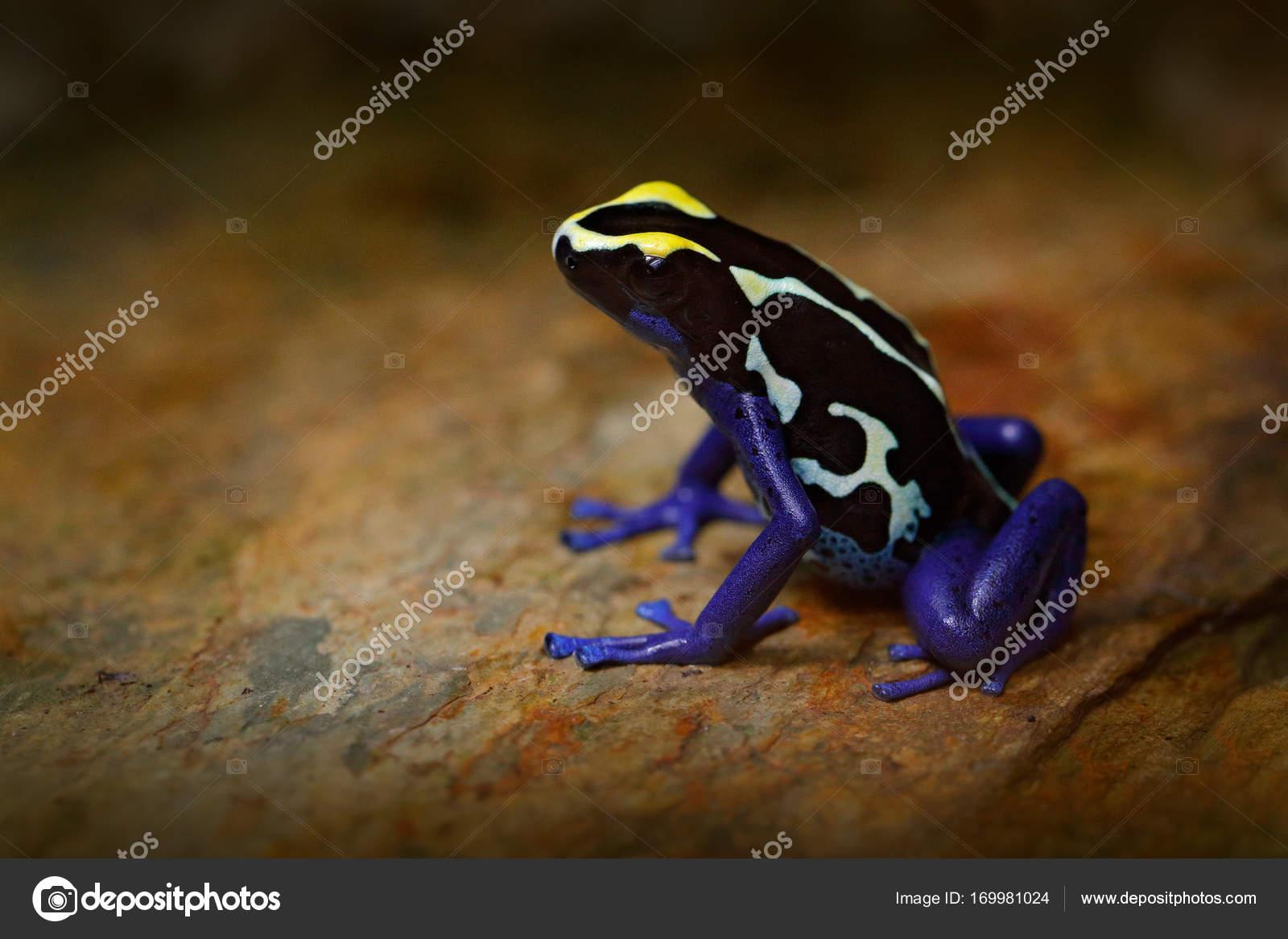 Blauer Frosch in der tropischen Natur — Stockfoto © OndrejProsicky ...