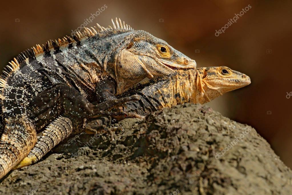 Pair of Black Iguana
