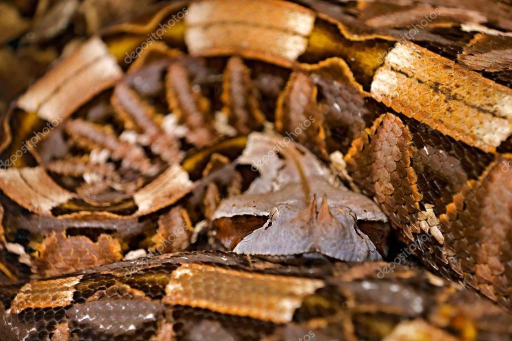 Gaboon viper, Bitis gabonica