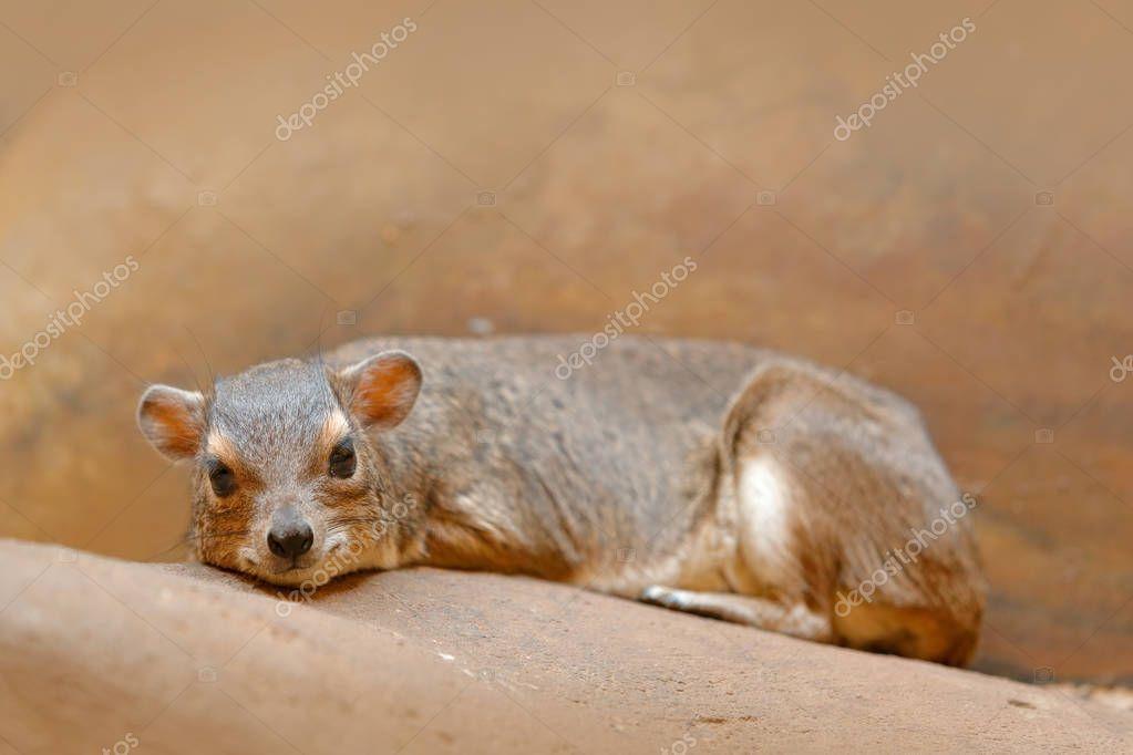 Rare interesting mammal from Africa.