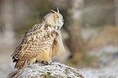 Fotografie Eastern Siberian Eagle Owl