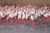 größere Flamingos-Herde