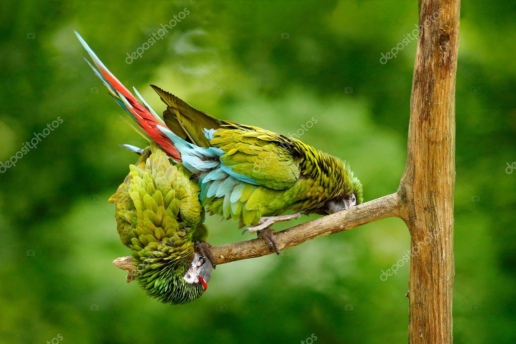 Green parrots Military Macaw