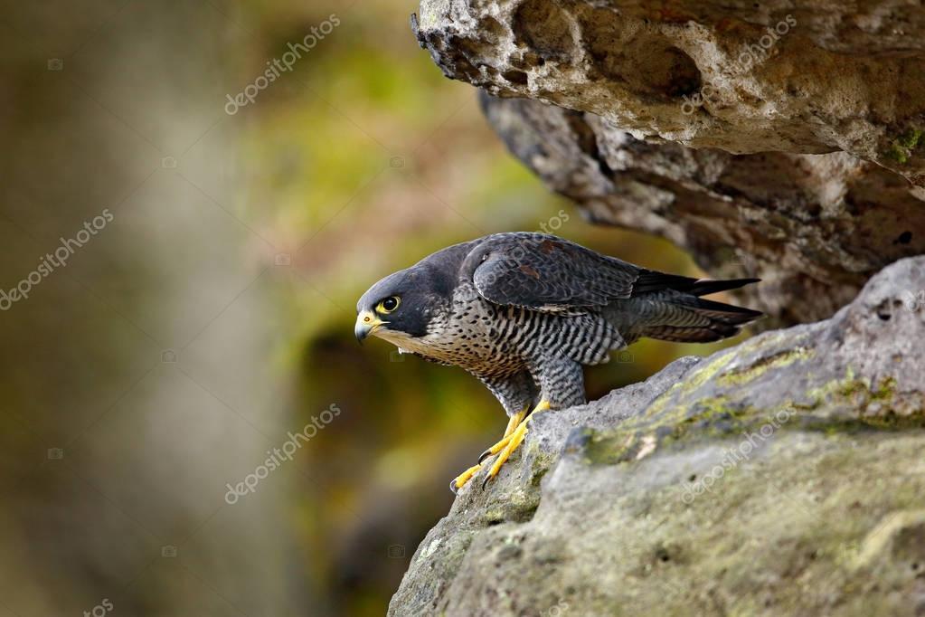 Peregrine Falcon sitting in rock