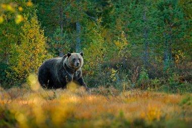 Bear hidden in yellow forest