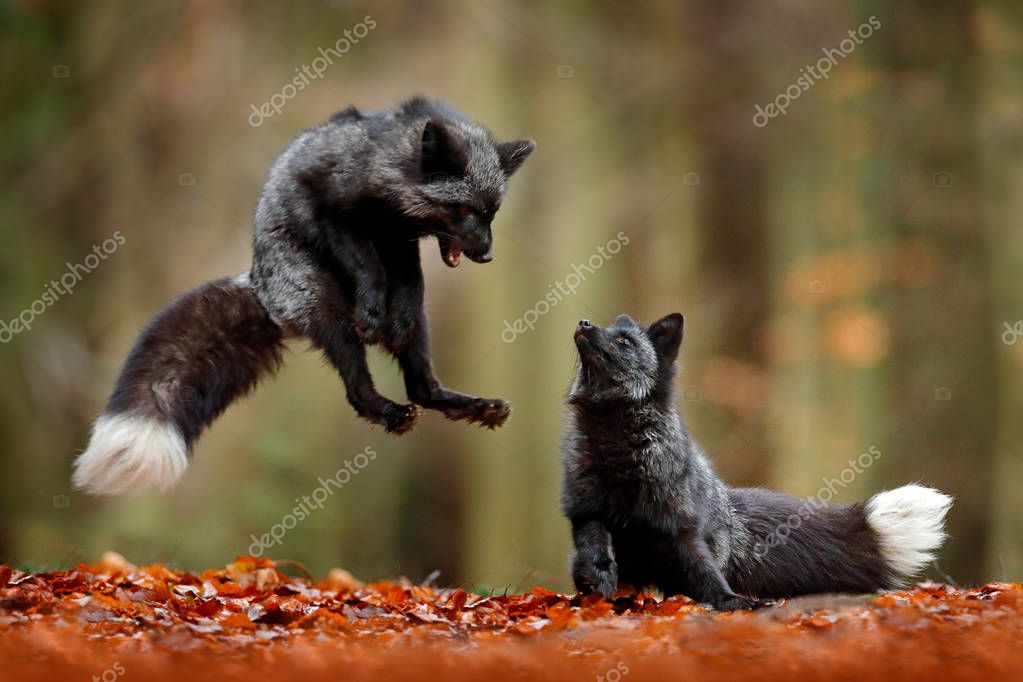 Black silver foxes